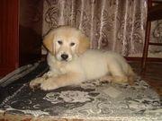продам щенка золотистого ретривера